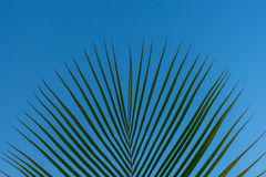 As folhas de uma palmeira da praia ajustaram-se contra um céu azul Fotografia de Stock