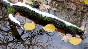 As folhas do amarelo flutuam na água, poça na floresta do outono, primeira queda de neve do inverno video estoque