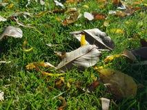 As folhas do amarelo na terra Imagens de Stock