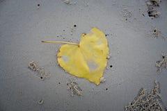As folhas do bodhi na praia Fotografia de Stock