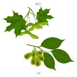 As folhas do bordo e do olmo semeiam amostras verdes da folha do acer do vetor ilustração stock