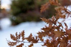 As folhas do carvalho fecham-se acima Imagens de Stock Royalty Free