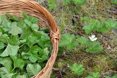 As folhas do cloudberry na cesta no pântano para uma tisana medicinal imagem de stock