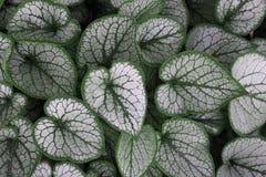 As folhas do Hosta fecham-se acima no jardim foto de stock royalty free