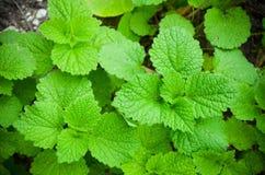 As folhas do Lamium no close-up do jardim Fotografia de Stock Royalty Free