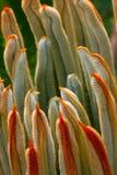 As folhas do revoluta 2 do Cycas foto de stock royalty free