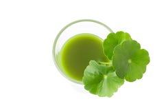 As folhas do ` s do kola de Gotu da opinião superior do close up bebem no fundo branco, ele Imagem de Stock