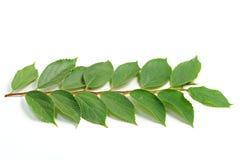 As folhas do verde Imagens de Stock