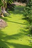As folhas do verde da lentilha-d'água molham a lente que cobre a superfície inteira da lagoa fotografia de stock