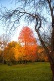 As folhas douradas no ramo, madeira do outono com sol irradiam Imagem de Stock