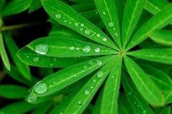 As folhas e o orvalho Fotos de Stock Royalty Free