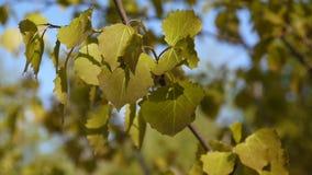 As folhas frescas do álamo tremedor na mola tremem no fundo do céu azul do vento Tremula do Populus Metragem de fechar a câmera e vídeos de arquivo