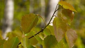 As folhas frescas do álamo tremedor na mola tremem no vento video estoque