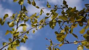 As folhas frescas do álamo tremedor na mola tremem no vento Fundo do céu video estoque