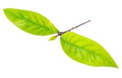 As folhas frescas do louro de baía do ramo são isoladas Fotografia de Stock