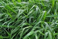 As folhas longas da grama de prado são cobertas com as gotas do orvalho puro Foto de Stock