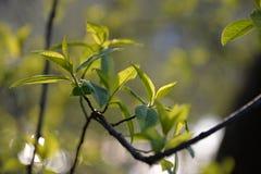 as folhas macias florescem belamente na primavera árvore imagens de stock