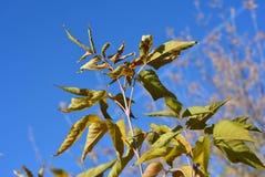 As folhas murchando do bordo no fundo do céu azul Imagens de Stock Royalty Free