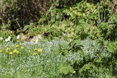 As folhas novas do olmo, um ramo da árvore solar com jovens saem na perspectiva de um jardim borrado na primavera imagens de stock royalty free
