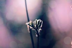 As folhas novas Pubescent da cinza de montanha no contorno iluminam-se fotos de stock