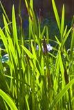 As folhas pequenas verdes do lírio na manhã iluminam-se Imagens de Stock