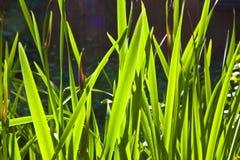 As folhas pequenas verdes do lírio na manhã iluminam-se Foto de Stock Royalty Free