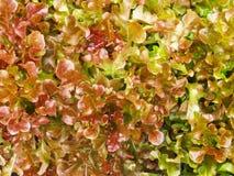 As folhas são alface over-mature. Fotografia de Stock