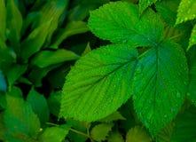 As folhas são arbusto de framboesa molhado Imagem de Stock Royalty Free