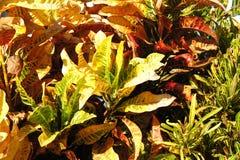 As folhas são sempre-verdes Foto de Stock Royalty Free