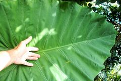 As folhas são sempre-verdes Fotos de Stock