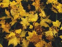 As folhas secas amarelas da queda encontram-se na terra no fundo do outono da floresta Imagem de Stock Royalty Free