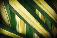 As folhas tecidas, família de palma. Imagem de Stock