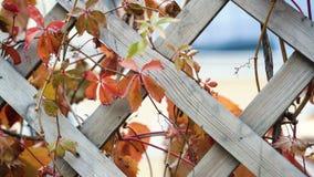 As folhas torcem a parede ou a cerca no outono é bonita O vento desenvolve a folha filme