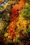 As folhas verdes amareladas vermelhas do carvalho cobrem os ramos de árvore fotografia de stock royalty free