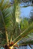 As folhas verdes da palma de coco contra o céu azul Fotos de Stock