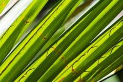 As folhas verdes do coco fecham-se acima Foto de Stock Royalty Free