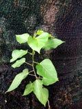 As folhas verdes frescas germinam no meio da árvore Fotos de Stock