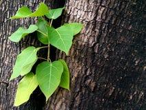 As folhas verdes frescas germinam no meio da árvore Foto de Stock