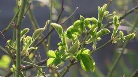 As folhas verdes novas brotam no arbusto da framboesa e de amora-preta vídeos de arquivo