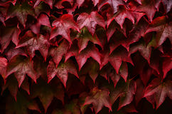 As folhas vermelhas da uva selvagem com água deixam cair Fotos de Stock Royalty Free