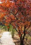 As folhas vermelhas do outono, estrada, coggygria Scop do Cotinus Fotos de Stock Royalty Free