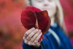 As folhas vermelhas nas mãos pequenas da menina fecham-se acima imagens de stock