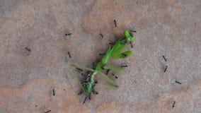As formigas atacam e comem o gafanhoto verde filme