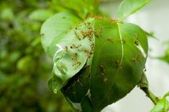 As formigas constroem a casa em uma árvore Fotos de Stock