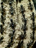 As formigas vão marchar um por um Imagem de Stock