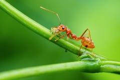 As formigas vermelhas do tecelão mantêm o alimento Imagens de Stock