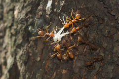 As formigas vermelhas do tecelão tentam comer seu alimento Foto de Stock Royalty Free