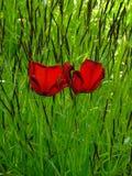 As fotos macro com mola brilhante florescem o fundo com as pétalas de queda das tulipas Fotos de Stock