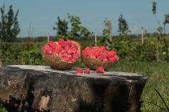 As framboesas estão no shell do coco no cânhamo no jardim Fotos de Stock Royalty Free