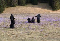 As freiras no prado da montanha com açafrão florescem a florescência Imagens de Stock
